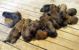 Guess How Many Puppies?