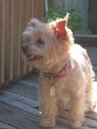Angel, the Yorkie (She really is!)