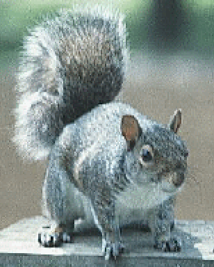 Gray Squirrels: Over-cute and Over-sexed?