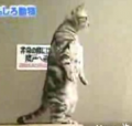 The Amazing Standing Cat!