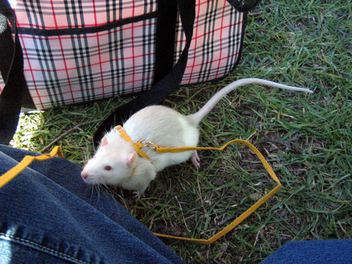 Funny or Scary? Rats for Pets