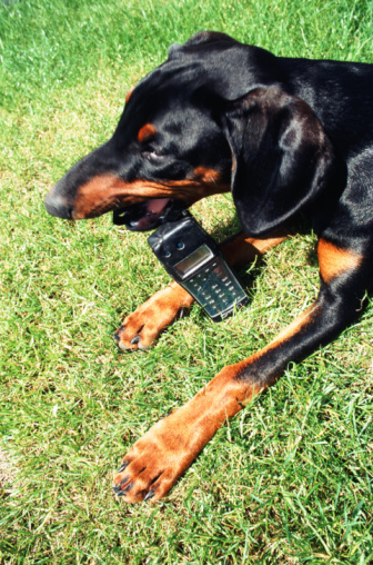 Dogs Trained To Steal Cell Phones!